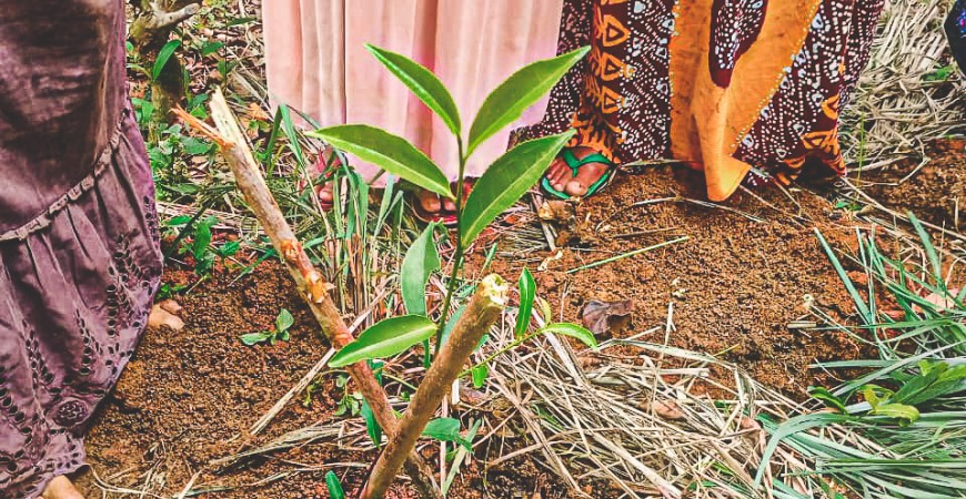 1000 nouveaux plants de thé au Sri Lanka
